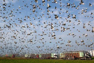 Afbeeldingsresultaat voor duiven vermist na lossing vierzon